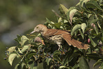 Brown Thrasher (Toxostoma rufum) in Virginia Creeper (Parthenocissus quinquefolia) in mid-September on fall migration.
