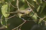 Warbling Vireo (Vireo gilvus) in mid-September on fall migration. The Ramble, Central Park. New York, NY.