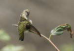 First-fall male Ruby-throated Hummingbird (Archilochus colubris) preening  in late September on fall migration.