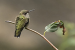 First-fall male Ruby-throated Hummingbird (Archilochus colubris) in late September on fall migration.