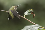 First-fall male Ruby-throated Hummingbird (Archilochus colubris) stretching in late September on fall migration.