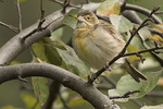 First-fall male Dickcissel (Spiza americana) in late September.