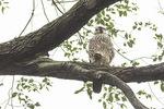 Juvenile Peregrine Falcon (Falco peregrinus) in early October.