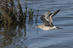 Hudsonian Godwit (Limosa haemastica) in flight in early October on fall migration.