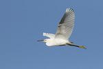 Immature Snowy Egret (Egretta thula) in flight in early October.