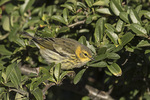 Cape May Warbler (Setophaga tigrina) in early October on fall migration.