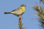 Pine Warbler (Setophaga pinus) in early October on fall migration.