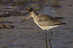 Hudsonian Godwit (Limosa haemastica) in early October on fall migration.