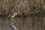 Immature Tricolored Heron (Egretta tricolor) in early October on fall migration.