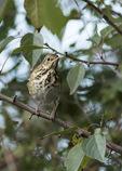 Hermit Thrush (Catharus guttatus) in mid-October on fall migration.
