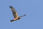 Juvenile male Northern Harrier (Circus cyaneus) in its second year in late October on fall migration.