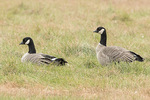 Cackling Geese (Branta hutchinsii) in late October.