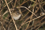 Marsh Wren (Cistothorus palustris) in late October on fall migration.