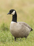 Cackling Goose (Branta hutchinsii) in late October.