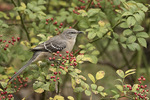 Northern Mockingbird (Mimus polyglottos) in Multiflora Rose in early November.