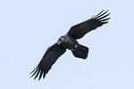 Large-billed Crow (Corvus macrorhynchos) in flight in early November.