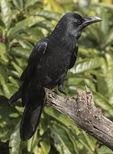 Large-billed Crow (Corvus macrorhynchos) in early Novembe.