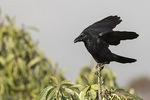 Large-billed Crow (Corvus macrorhynchos) in mid- November.