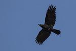 American Crow (Corvus brachyrhynchos) in flight in mid-November.