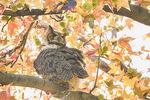 Great Horned Owl (Bubo virginianus) roosting in Sweetgum (Liquidambar styraciflua) in early November.
