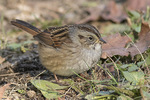 Adult Swamp Sparrow (Melospiza georgiana) in mid-November on fall migration.