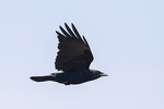 Fish Crow (Corvus ossifragus) in flight in mid-April.