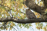 Great Horned Owl (Bubo virginianus) in late November. Central Park. New York, NY.