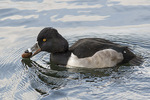 Male Ring-necked Duck (Aythya collaris) about to swallow Turkey Oak acorn in late November.
