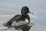 Male Ring-necked Duck (Aythya collaris) in late November.
