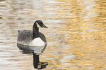Canada Goose (Branta canadensis) in late November.