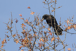 American Crow (Corvus brachyrhynchos) collecting acorns in Pin Oak (Quercus palustris) in late November.