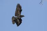 American Crow (Corvus brachyrhynchos) in flight in late November.