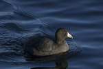 American Coot (Fulica americana) in early December.