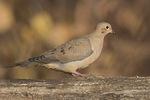 Mourning Dove (Zenaida macroura) in early December.