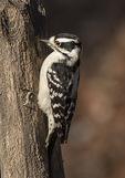 Female Downy Woodpecker (Picoides pubescens) in early December.