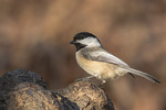 Black-capped Chickadee (Poecile atracapillus) in early December.