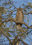 Immature Great Horned Owl (Bubo virginianus) in early December.