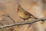 Female Northern Cardinal (Cardinalis cardinalis) in early December.