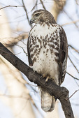 Juvenile Red-tailed Hawk (Buteo jamaicencis) in early December.