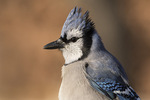 Hatch-year Blue Jay (Cyanocitta cristata) in early December.