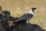 House Crow (Corvus splendens) perched on a cow in late November.