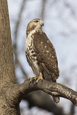 Juvenile Red-tailed Hawk (Buteo jamaicensis) in mid-December.
