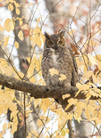 Immature Great Horned Owl (Bubo virginianus) in mid-December.