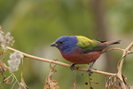 Male Painted Bunting (Passerina ciris) in mid-December.