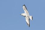 First-winter Black-headed Gull (Chroicocephalus ridibundus) in flight in mid-December.