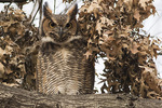 Immature Great Horned Owl (Bubo virginianus) at its roost in mid-December.