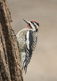 Male Yellow-bellied Sapsucker (Sphyrapicus varius) in late December.