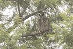Great Horned Owl (Bubo virginianus) roosting in Eastern Hemlock (Tsuga canadensis) in late December.