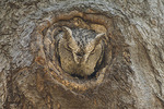 Gray morph Eastern Screech-Owl (Megascops asio) at roost in tree cavity in mid-April.