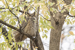 First-winter Great Horned Owl (Bubo virginianus) roosting in early January.